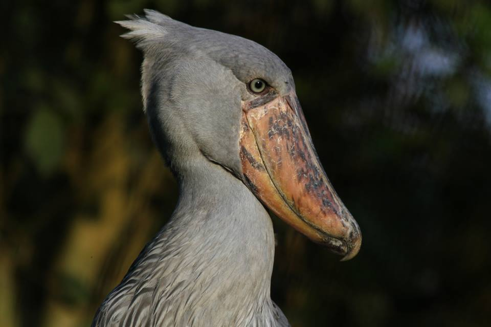 Bird ShoeBill
