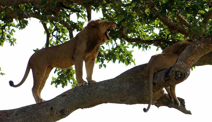 Climbing lions at QENP