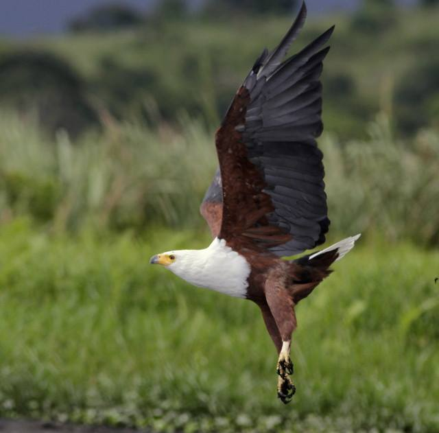 Bird African fish eagle in flight