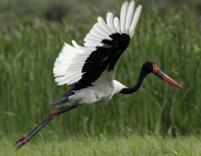 Bird saddlebilled stork in flight
